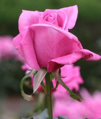 紫のバラ・香りバラ ムーンシャドウ