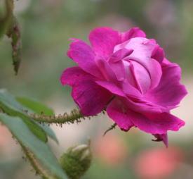紫のバラ・香りバラ ウィリアムロブ