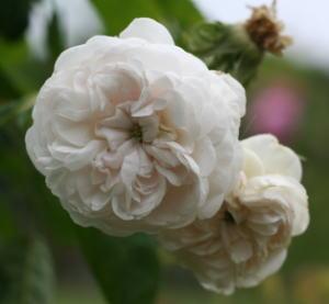 香りバラ・ピンク系バラ・白系バラ マダム・ゾエトマン