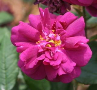 紫のバラ・香りバラ ニュイ・ドゥ・ヤング