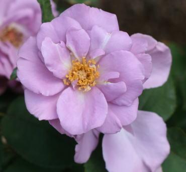 紫のバラ たそがれ