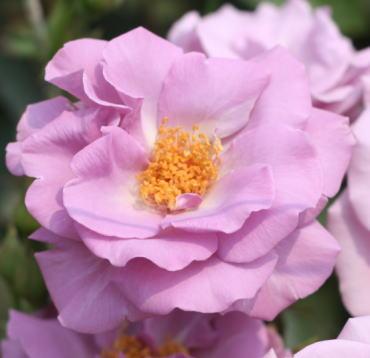 紫の薔薇 たそがれ