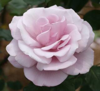 紫のバラ・香りバラ ブルームーン 画像