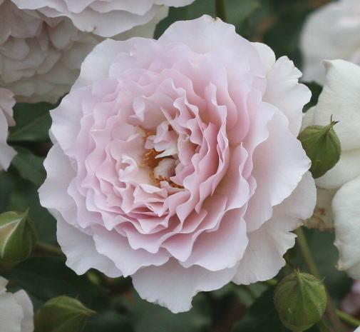 紫のバラ・香りバラ ニューウェーブ 耐病性