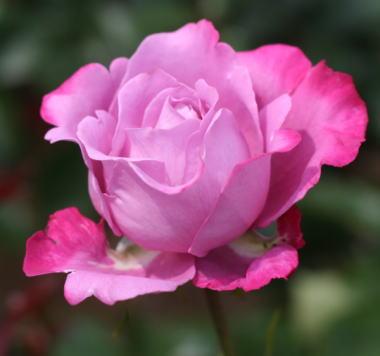 紫のバラ・香りバラ ブルーリバー