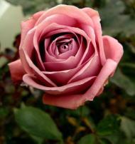 紫のバラ・香りバラ 藤娘