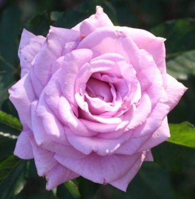 紫のバラ・香りバラ スイートムーン
