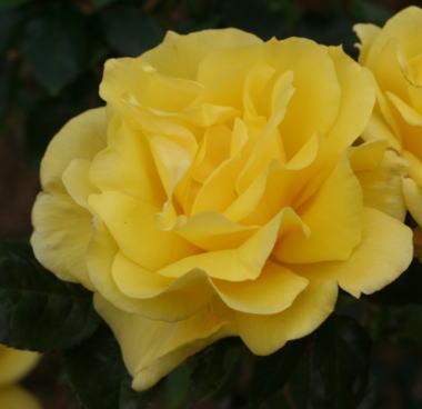 香りバラ・黄色系バラ フリージア