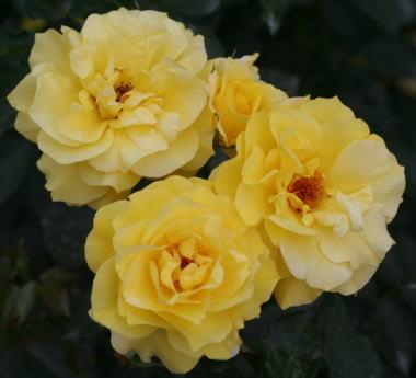 香りバラ・黄色系薔薇 フリージア