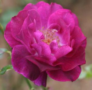 紫のバラ・香りバラ ワイルド・ブルー・ヨンダー