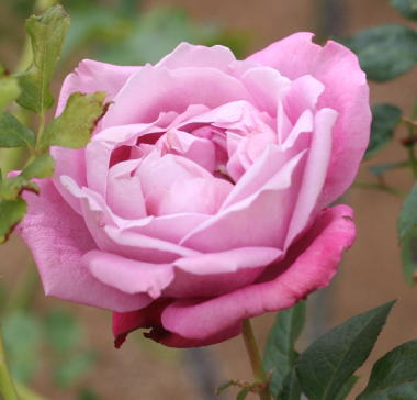 紫のバラ・香りバラ ブルーパフューム