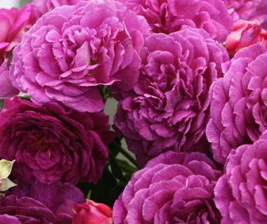 紫のバラ・香りバラ エブタイド
