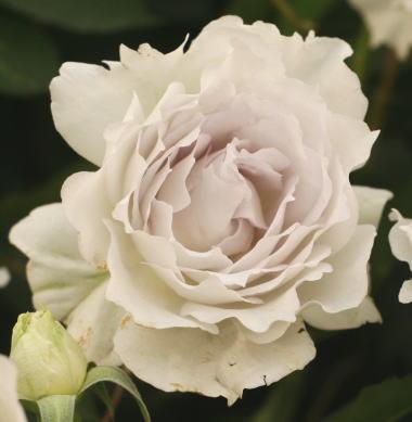紫のバラ・香りバラ ガブリエル