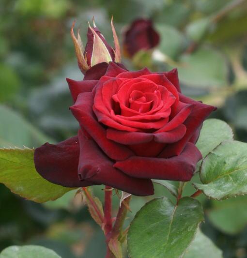 黒バラ・赤系バラ ブラックバッカラ