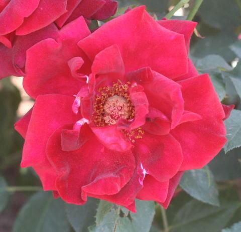 黒バラ・香りバラ・赤系バラ ジョセフィン ブルース