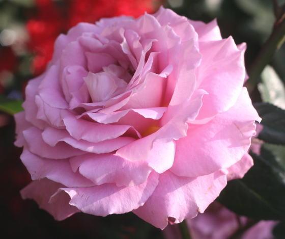 紫のバラ・香りバラ シャンテリー・レース