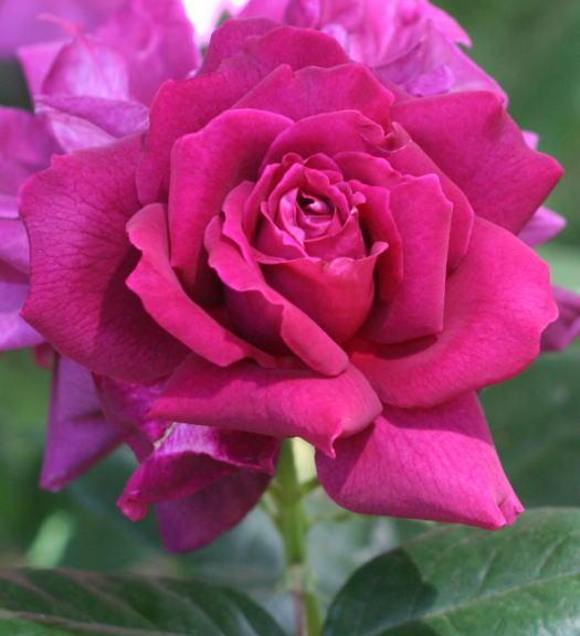 紫のバラ・香りバラ イントゥリーグ