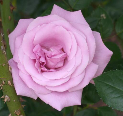 紫のバラ・香りバラ ブルーライト