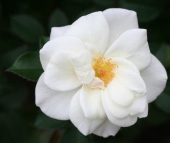 香りバラ・白系バラ サラトガ