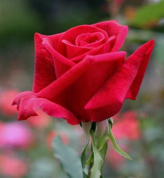 黒バラ・香りバラ・赤系薔薇 パパメイアン