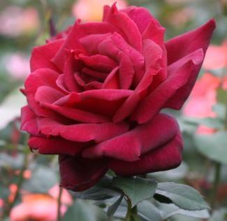 黒バラ・香りバラ・赤系バラ オクラホマ