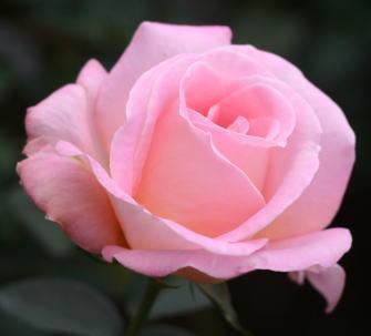 香りバラ・ピンク系バラ コンフィダンス