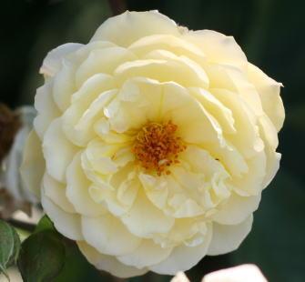 香りバラ・黄色系バラ ムーンスプライト