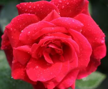 黒バラ・香りバラ・赤系バラ ミスター・リンカーン