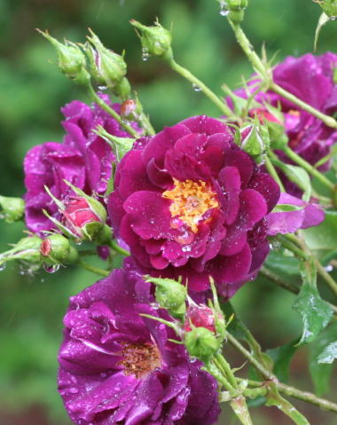 紫のバラ・香りバラ ミッドナイトブルー