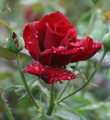 黒いバラ・赤系バラ 黒真珠