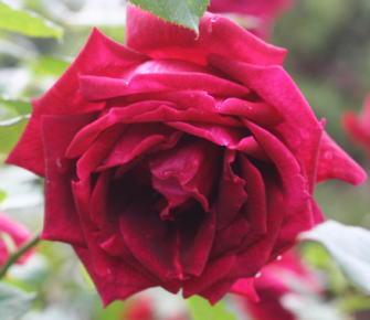 黒バラ・香りバラ・赤系バラ パパメイアン