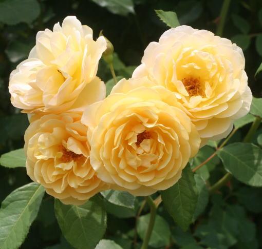 香りバラ・黄色系バラ グラハムトーマス