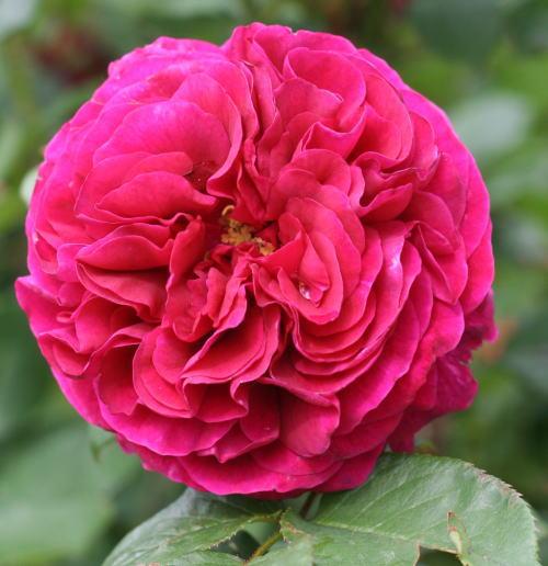 紫のバラ・香りバラ ザ・プリンス