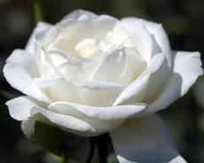 香りバラ・白系バラ ユキサン