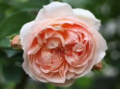 香りバラ・ピンク系バラ エブリン