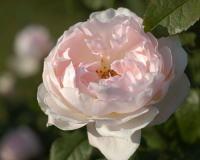 香りバラ・ピンク系バラ シャリファ アスマ