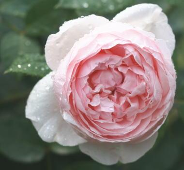 香りバラ・ピンク系バラ セントセシリア