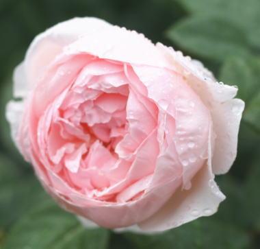 香りバラ・ピンク系薔薇 セントセシリア