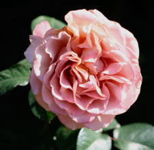 香りバラ・茶系薔薇 カフェラテ