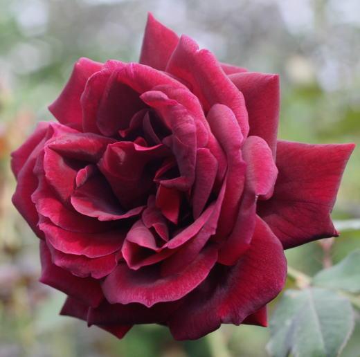 黒バラ・香りバラ・赤系バラ ナイトタイム
