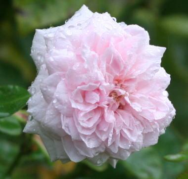 香りバラ・ピンク系バラ スブニール・ド・ラ・マルメゾン