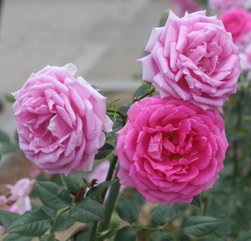 香りバラ・ピンク系バラ オーバーナイト・センセーション
