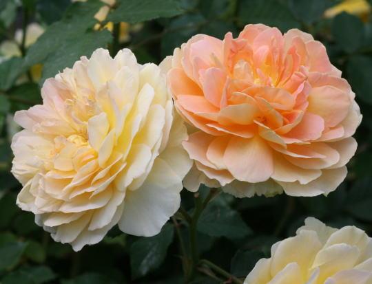 香りバラ・黄色系バラ モリニュー
