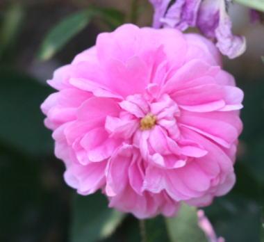 香りバラ・ピンク系バラ ゾエ