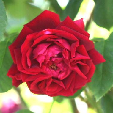 黒バラ・香りバラ プリンス・カミーユ・ドゥ・ロアンPrince Camille de Rohan