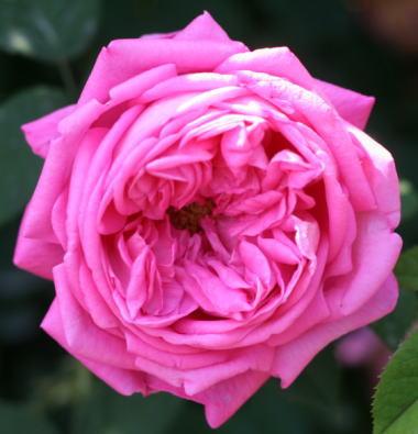 香りバラ・ピンク系バラ ポール・リカウト