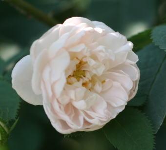 香りバラ・白系バラ ジャンヌダルク