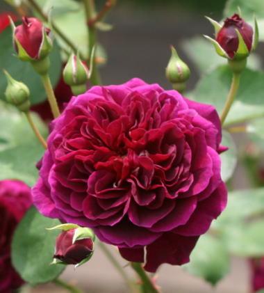紫のバラ・黒バラ・香りバラ トラディスカント