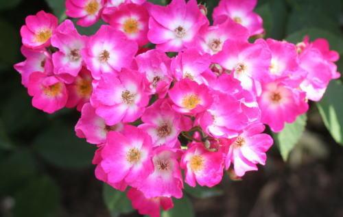 シューベルト(紫のバラ)