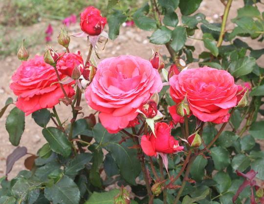 香りバラ・赤系バラ アーネストヘンリーモース